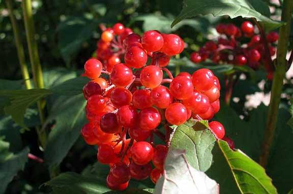 cranberries3