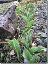 03-24-09 tulips and daffodils sprouting 002